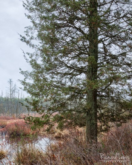 Cedar On The Wading River in the Pine Barrens by Richard Lewis