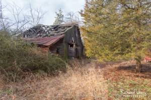 Abandoned Barn With Cedar Tree