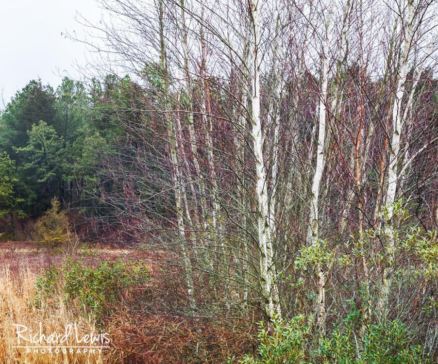 Pine Barrens Birch Trees New Jersey Pinelands