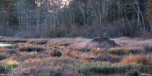 Beaver Lodge At Sunset Pine Barrens