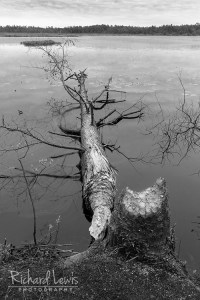 Beavers At Work in the Pinelands