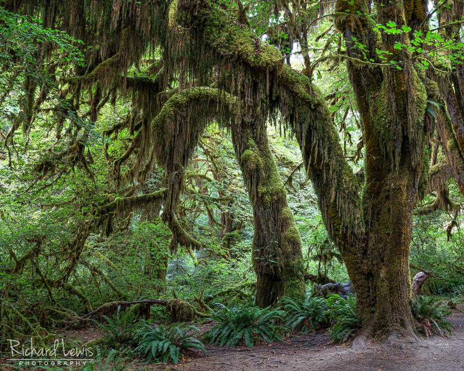 Hoh Rain Forest Landscape Olympic National Park