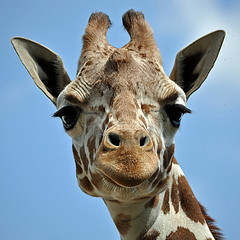 Giraffe Peter Miller
