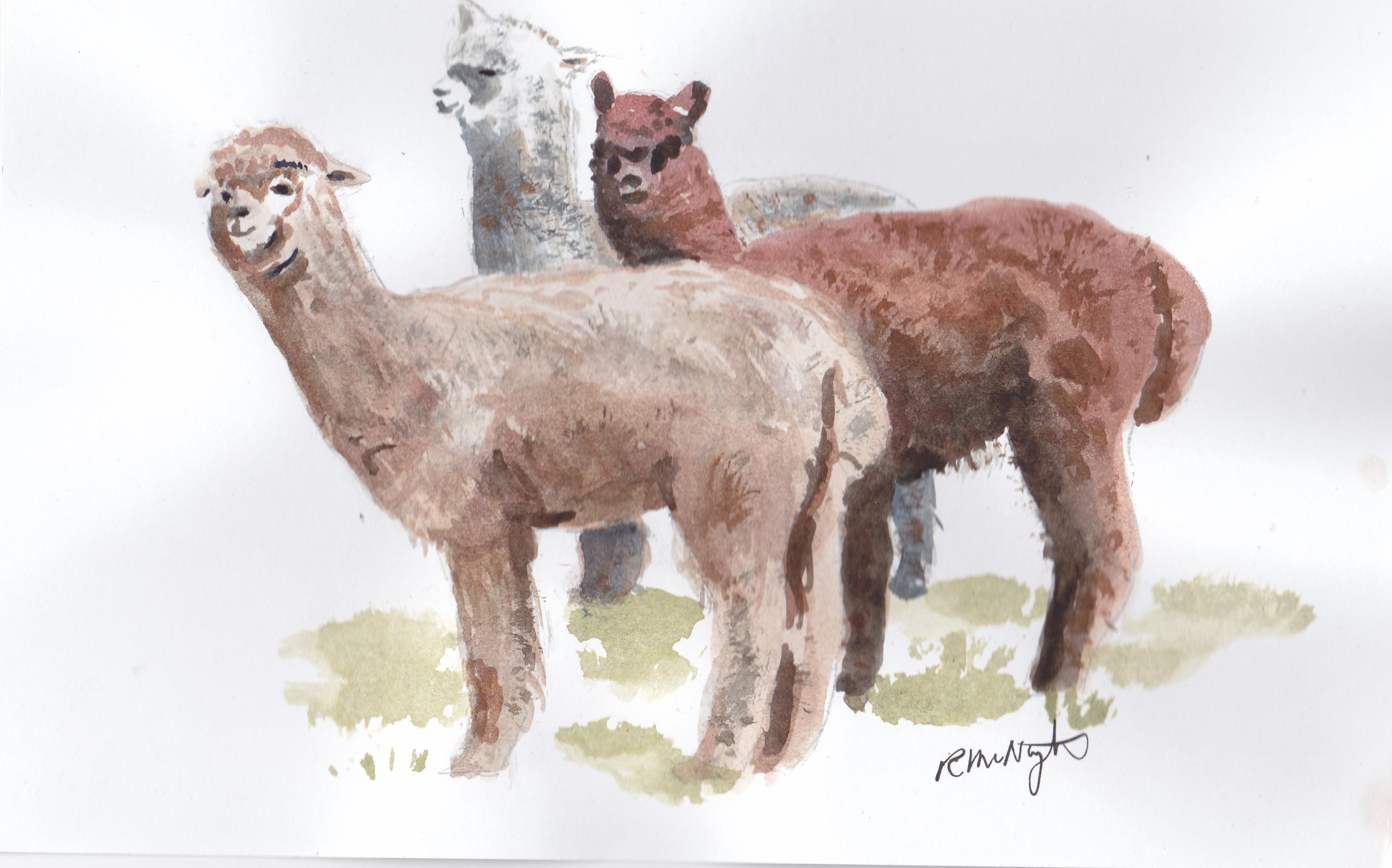 Alpacas Richard McNaughtons Art