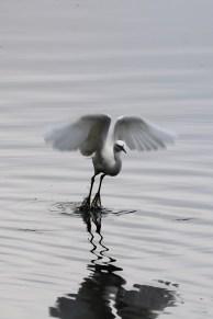 Little Egret, Shapwick Heath, Somerset