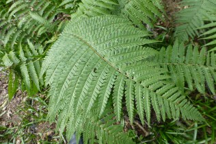 Ferns - great example of pattern in nature