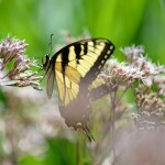 TigerSwallowtail015