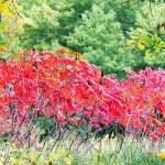 Fall sumac