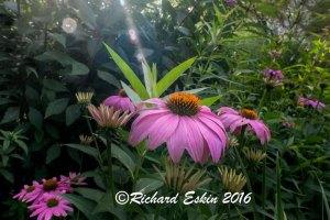 Echinacea_D8E_3047