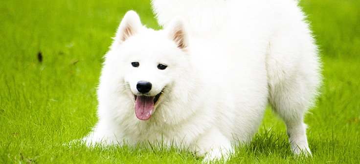 Samoyed Dog1.jpg?zoom=1 - WHICH ARE THE MOST EXPENSIVE DOG BREEDS IN THE WORLD?