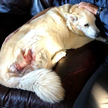 Miss Porkchop and her wound