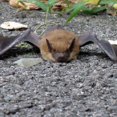 bats trapping