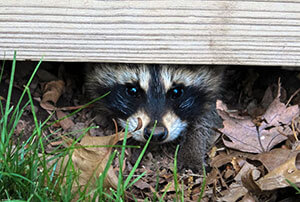 Raccoon Removal & Management