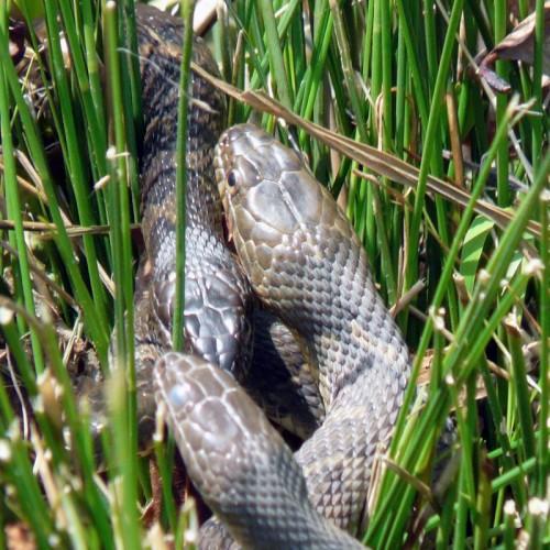 brown water snakes