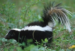 Odorless Skunk Exclusion