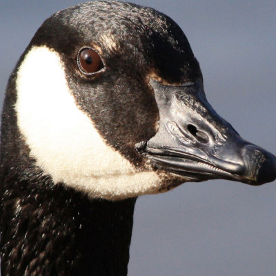 canadian geese removal