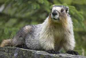 Groundhog Removal & Control