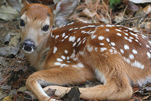 White-tailed Deer Removal & Control