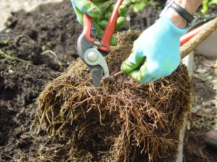 pruning-roots