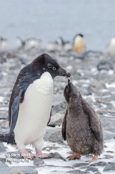 Adelie penguin, Pygoscelis adeliae feeding its chick at Paulet Island in Antarctica.