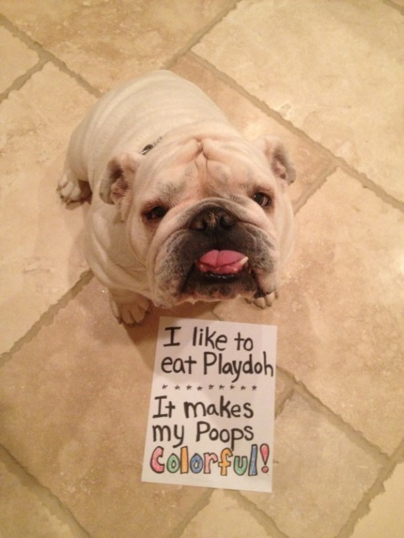 Dog breed - I like to eat Playdoh It makes my Poops Golorful!