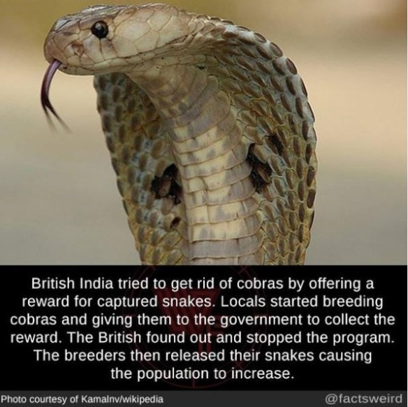 Reptile - British India tried to get rid of cobras by offering a reward for captured snakes. Locals started breeding cobras and giving them to the government to collect the reward. The British found out and stopped the program. The breeders then released their snakes causing the population to increase. Photo courtesy of Kamalnv/wikipedia @factsweird