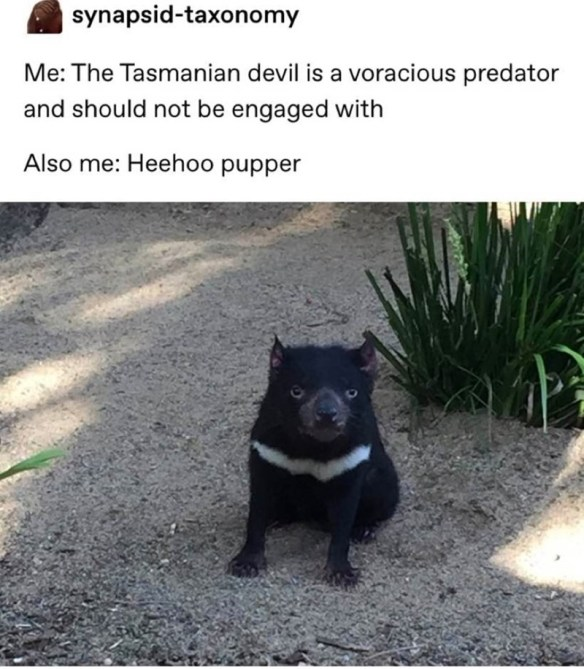 Mammal - synapsid-taxonomy Me: The Tasmanian devil is a voracious predator and should not be engaged with Also me: Heehoo pupper