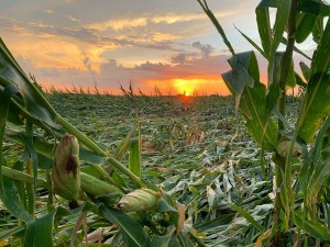 a flattened cornfield at sunset in adel, iowa after the derecho vocabulario en inglés