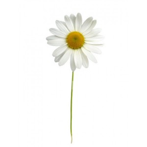 single stem daisy-600x600