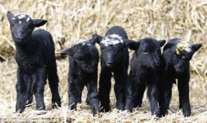 black sheep snub