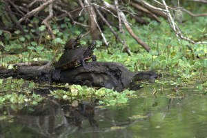 Piggy Back Turtles on Four Mile Bayou