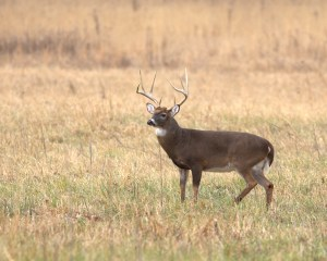 Whitetail Buck in Cades Cove