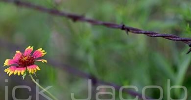 Flower and barbed wire. Available on iStock and Red Bubble.