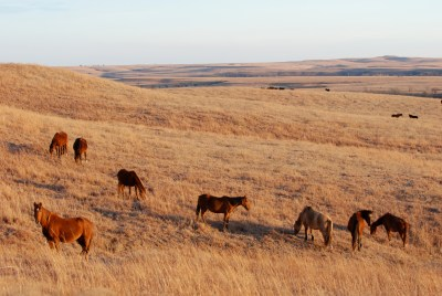 Wild Horses in the Flint Hills