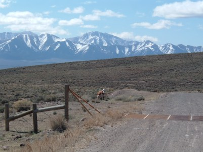 Cow by Roadside