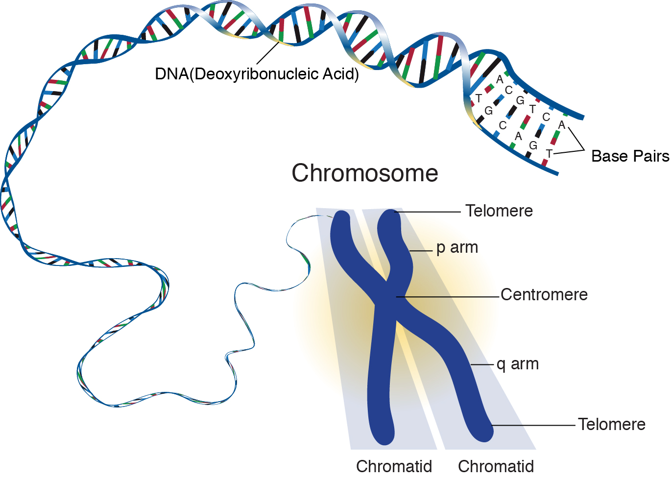 chromosome structure diagram 3 phase 5 pin plug wiring soft drinks can speed up cellular aging  ricochet science