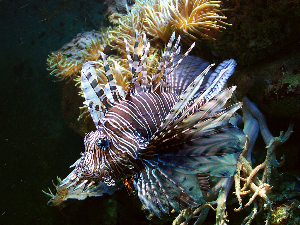 Ecological Impact of Lionfish