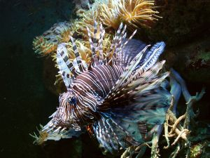 Pterois_volitans_-_red_lionfish