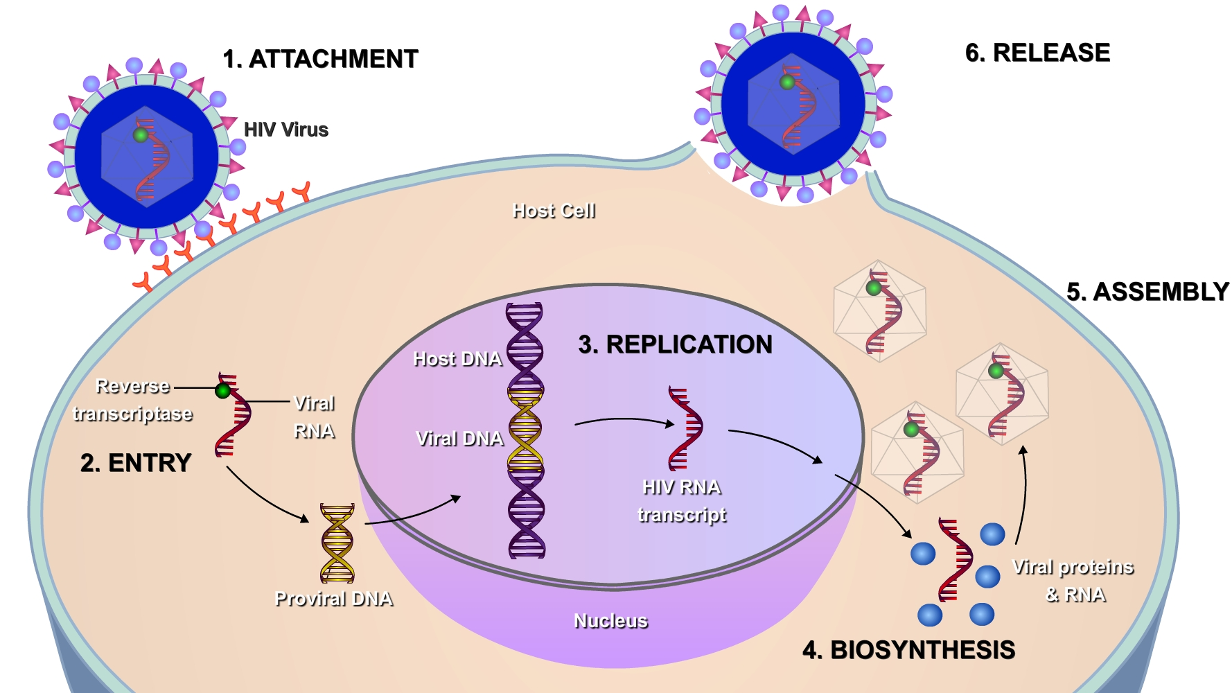Viruses In The Human Genome Ricochet Science