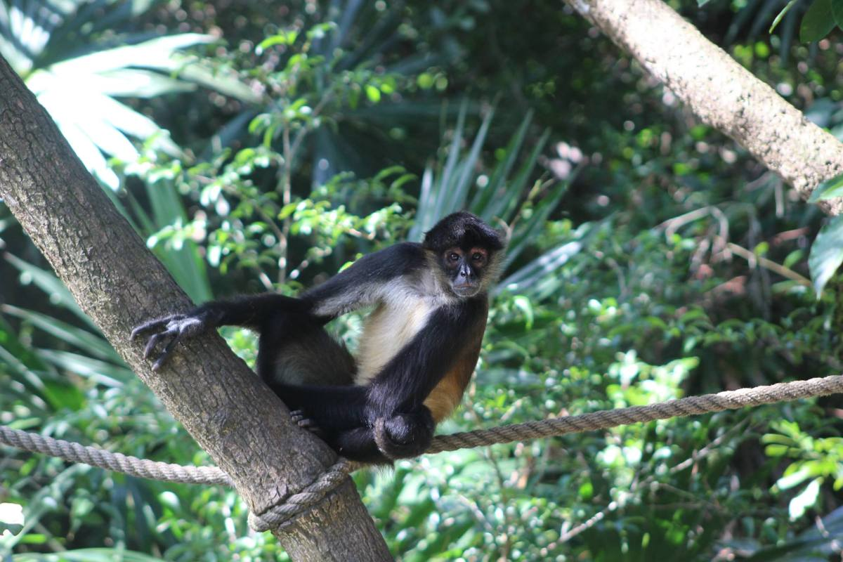 The Spider Monkeys of Belize