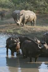 Bulls and bullies Kapama