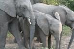 Elephants Kapama