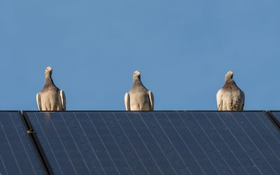 How to Stop Birds Nesting Under Solar Panels or In Chimney