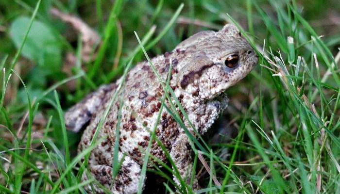 Réhabilitation du Crapaud : un crapaud dans l'herbe
