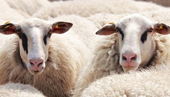 Abêtissement de la France : Sommes-nous des moutons ?