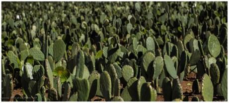 Kaktusfeld, Landwirtschaft