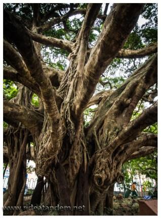 Pflanzen gibt es hier in Hülle und Fülle, dieser schicke Baum steht mitten in der Innenstadt von Florianopolis