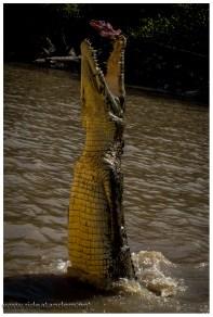 An einer Angel werden Fleischstücke über und ins Wasser gehalten. Die Krokodile kennen das Spiel und wissen sie müssen etwas höher hinaus um an die vermeintlich leichte Beute zu kommen.