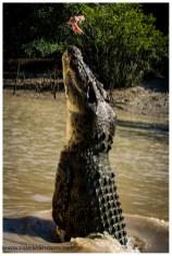 Krokodile jeder Grösse kommen bis zu den Hinterfüssen (heissen die so??) aus dem Wasser hinaus. Das ich nicht immer im richtigen Moment das Photo mache, interessiert die Crocs nicht.