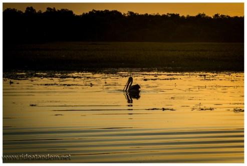 und Pelikane